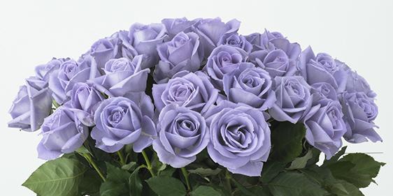 Trandafirul albastru rămâne (încă) un vis