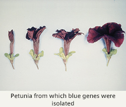 Petunia from which blue genes were isolated