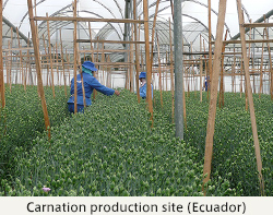 Carnation production site (Ecuador)