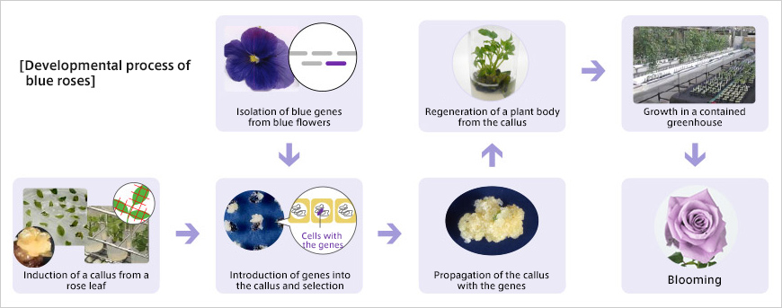 Developmental process of blue roses