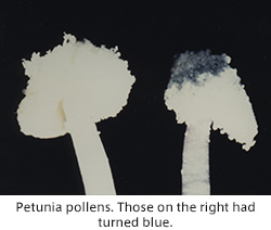 Petunia pollens. Those on the right had turned blue.
