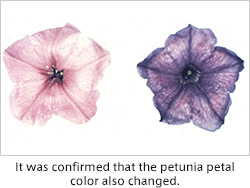 It was confirmed that the petunia petal color also changed.