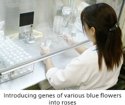 Introducing genes of various blue flowers into roses