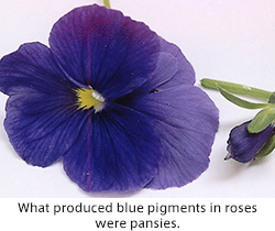 What produced blue pigments in roses were pansies.