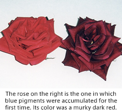 The rose on the right is the one in which blue pigments were accumulated for the first time. Its color was a murky dark red.