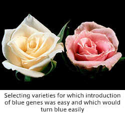 Selecting varieties for which introduction of blue genes was easy and which would turn blue easily