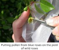 Putting pollen from blue roses on the pistil of wild roses