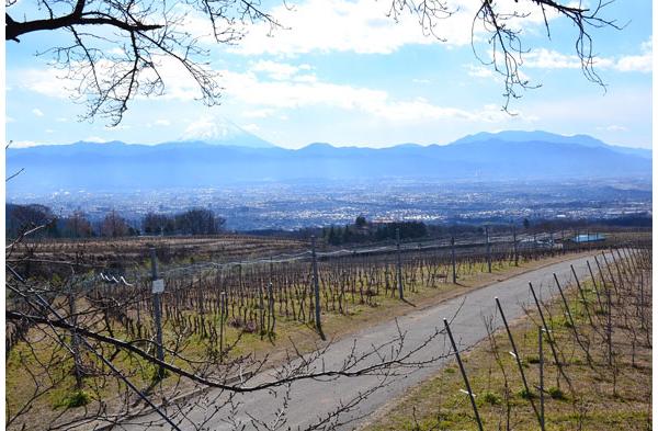 Maintaining Japan's largest private vineyard, SUNTORY TOMI NO OKA WINERY