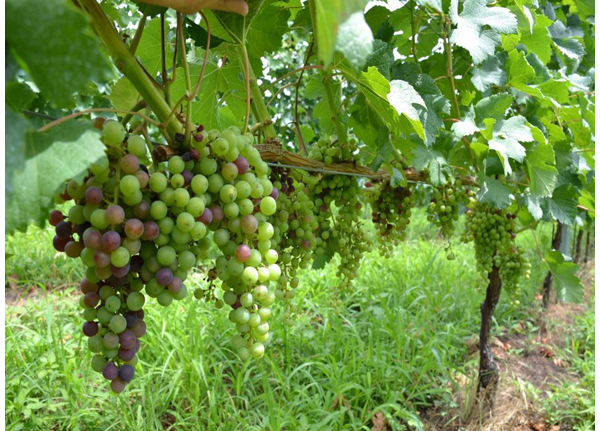 A Merlot field. The early ripening Merlot begins veraison relatively early among the red varieties.